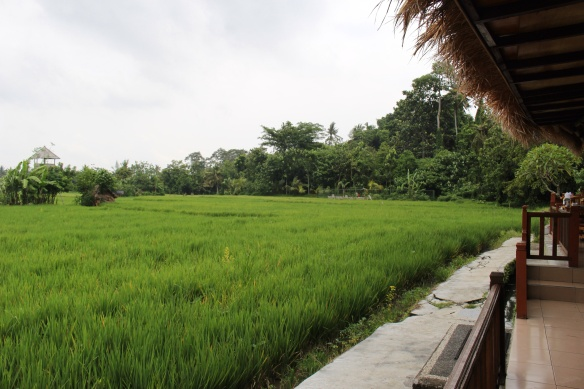 Tropical View Restaurant Rice fields fully grown. 260 degree view