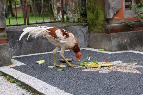 The ubiquitous rooster
