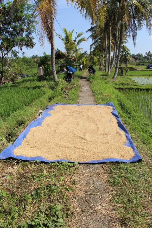 Rice Drying Across the Path. A trick to navigate.