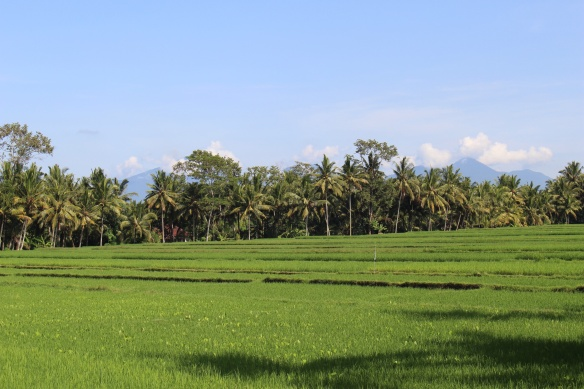 Rice fields and volcanoes