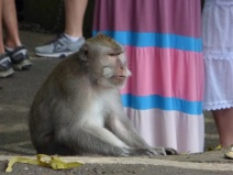 Monkeys everywhere; Particularly in the south end of Ubud near Monkey Forest