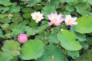 Lotus flowers everywhere
